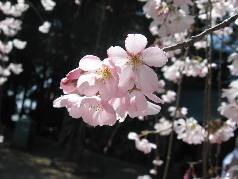 桜の日光浴.JPG
